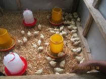 学校へ支援した鶏のヒナ