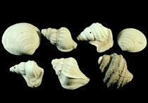 Muscheln und Schnecken aus eiszeitlichen Kiesen