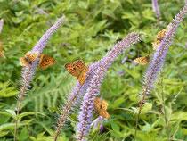 植物園の花にヒョウモンチョウが群がる