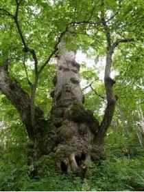 シナノキの大木