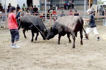筋肉質で重量が1㌧近い闘牛が激しい闘いを繰り広げた=八重山闘牛場、大川