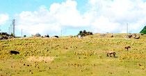 陸上自衛隊沿岸監視部隊の駐屯地建設が計画されている与那国町の南牧場(2013年8月)
