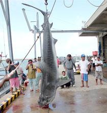 八重山漁協に水揚げされたサメ(11日)