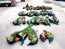 18、19日に黒島で駆除されたクジャク(町自然環境課提供)