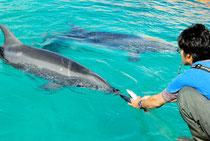 イルカにエサを与える飼育員