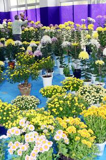 手塩にかけた菊の作品、十数種700鉢が並べられ、場内は華やかな雰囲気に包まれている=大川公民館