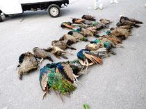 銃器で駆除されたクジャク(町自然環境課提供写真)