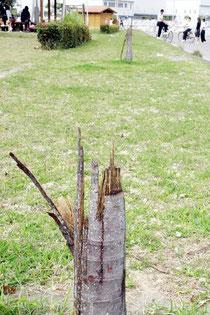 何物かに半分に折られた状態のヤエヤマヤシ=八島海岸付近の公園