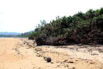 2013年3月撮影の同じ場所。モクマオウは倒れ、それまで砂に隠れていた石まで露出し始めている。