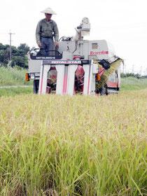 黄金色に実った一期米の収穫が始まった=新川平田原
