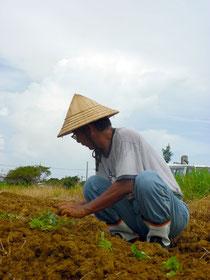 雨を待ちわびていた紅いも農家が、植え付け作業に汗を流していた