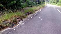 イリオモテヤマネコの交通事故死が過去最悪の6件目となった(20日、西表野生生物保護センター提供)