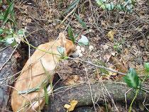 卵を見つけるクジャク探査犬(竹富町自然環境課提供)