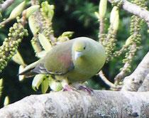 日本には屋久島と南西諸島にしか生息しない、チュウダイズアカアオバト=これも採取の対象となっている