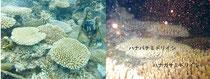 ハナバチミドリイシの産卵状況(右)。左は撮影状況=環境省那覇自然環境事務所提供