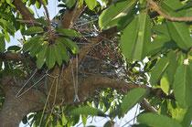 樹齢数百年ともいわれるアコウに作られた巣。直径は50㌢ほど。周辺の枝には、巣から落ちぶらさがったままのハンガーも=11日、登野城