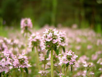 Thymus vulgaris by Stelian Kasabov Licence Creative Commons 3.0