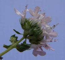Thymus vulgaris fleur (détail)