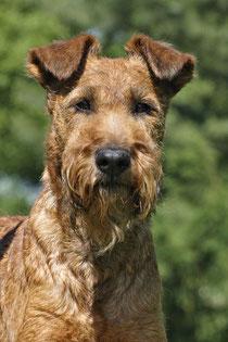 Eireen - Stammhündin der Ballinderrys Irish Terrier