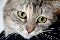 """Kucinta, amalgame des mots malais """"kucing""""/chat et """"cinta""""/amour. Nom péblicité pour la race de chat Singapura"""