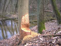 Auch Buchen nagt der Biber an - wenn sie nah am Gewässer stehen, wo eigentlich andere Bäume wachsen würden. (Bild: NABU/Grützmacher)