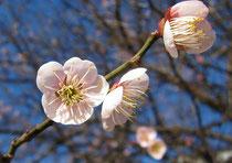 広島の梅  /  ひろしまフォト歩き