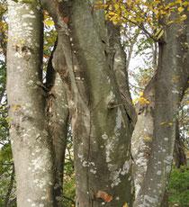 北杜市に自生している欅の木