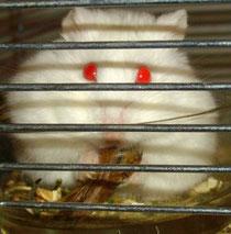 Hamster, Puschelhilfe, Nagerschutz, Fressen, Lemon, Heuschrecke