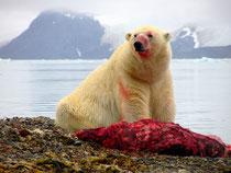 Ours polaire et sa proie