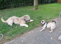 Paco mit Mopsdame einer Hundefreundin