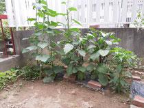 最近の庭の野菜達