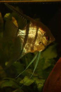 Leopolds skalar philippe aquaristik for Skalar futter