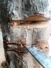 Taille de bois.