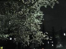 構内の夜桜