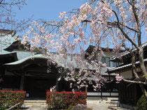 竹林寺の桜