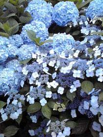 府中郷土博物館の紫陽花