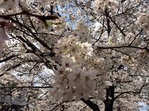 隣の公園の桜です。