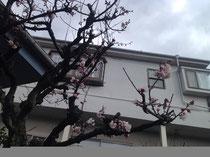 我が家の玄関にある梅の木です。