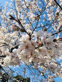 神田川沿いの桜🌸