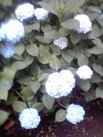 紫陽花が綺麗♪
