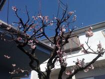 自宅の梅の花です