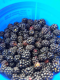 Meine Mutti pflückt die besten Brombeeren für unsere Marmeladen