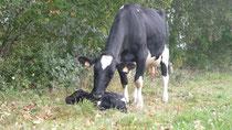 naissance d'un veau