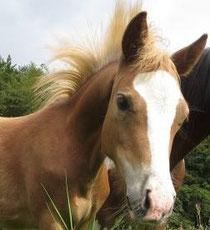 neu-pony-fohlen