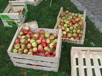 Die Klasse 4/5 bei der Apfelernte auf dem Schulhof