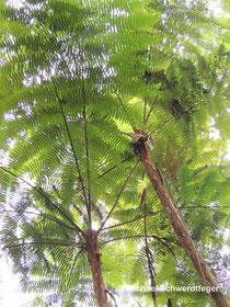 Baumfarne im tropischen Regenwald