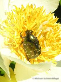 Cetonia aurata im heimischen Garten auf einer Pfingstrosenblüte