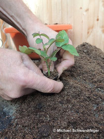 Wie vermehrt man Pflanzen ?