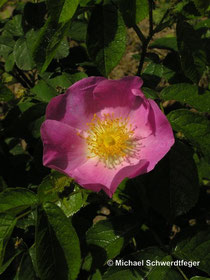Rosa gallica (Wildform)