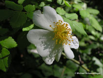Rosa arvensis (Wildform)